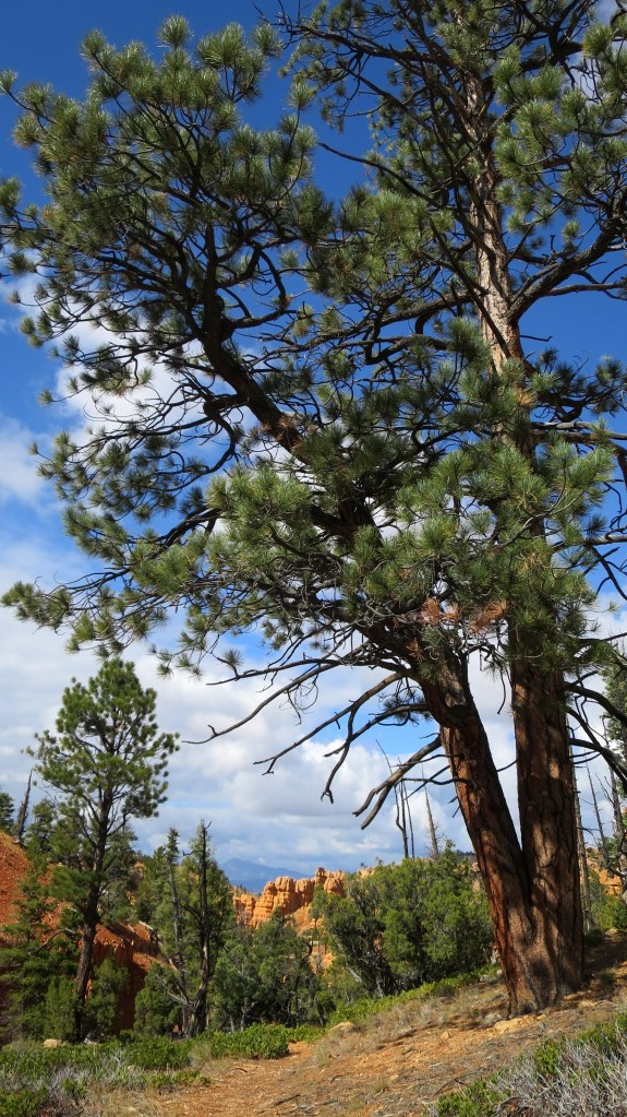 Twofer: double-trunk ponderosa pine, Golden Wall Trail, Red Canyon, Dixie National Forest, Utah