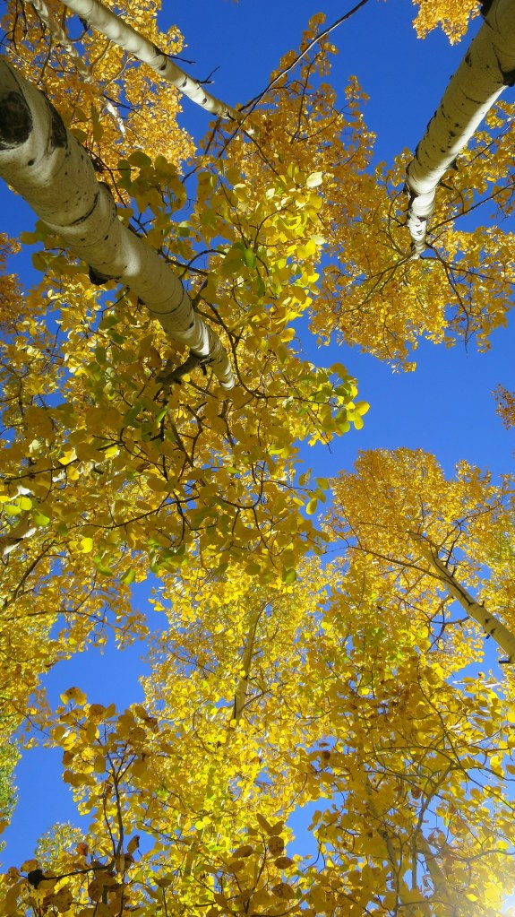 Blazing yellow aspens overhead near Duck Creek, Dixie National Forest, Utah
