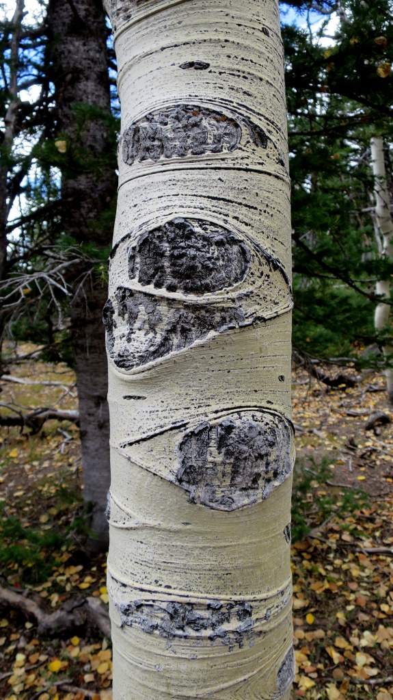 Aspen knots, Marathon Trail, Dixie National Forest, Utah