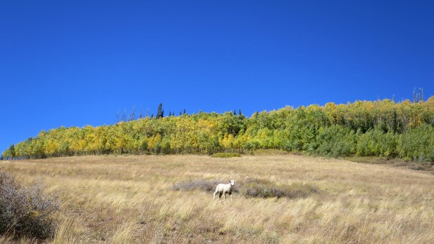 Cheeky sheep stalking us, Sidney Peaks Trail, Dixie National Forest, Utah