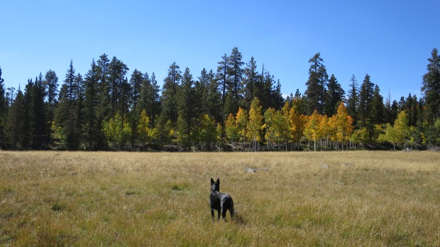 Abby the #Elkfinder surveying near Duck Creek, Dixie National Forest, Utah
