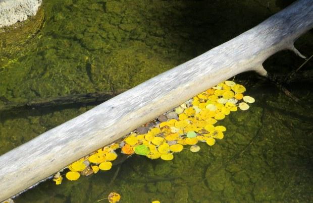 Aspen leaves in Duck Creek, Dixie National Forest, Utah