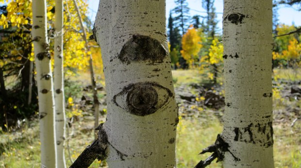 Aspen eyes near Duck Creek, Dixie National Forest, Utah