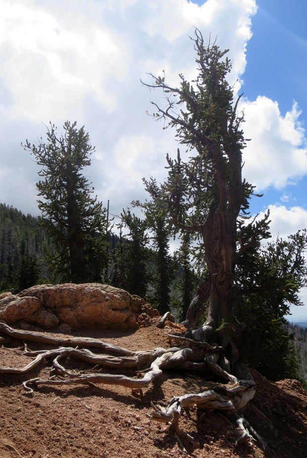 Bristlecone pine, Bristlecone Pine Trail, Dixie National Forest, Utah