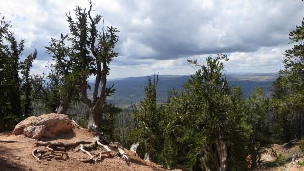 Bristlecone pines, Bristlecone Pine Trail, Dixie National Forest, Utah