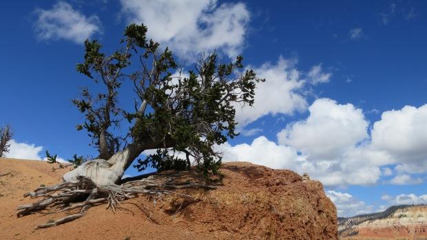 Bristlecone on the Ramparts Trail, Cedar Breaks National Monument, Utah