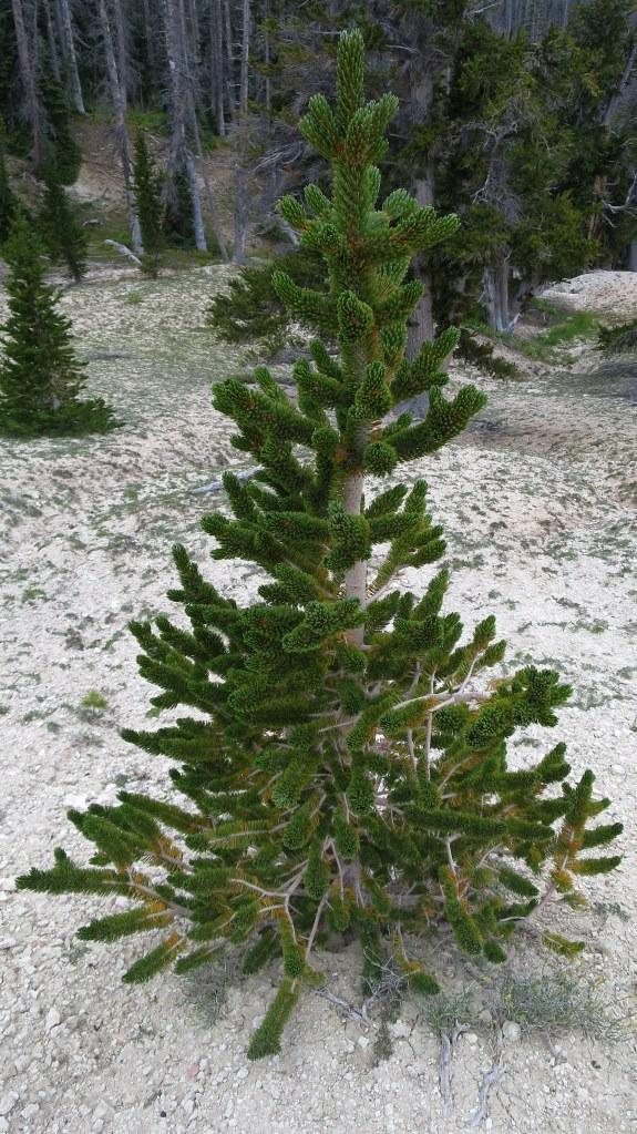 A Bristlecone Christmas tree, Cedar Breaks National Monument, Utah