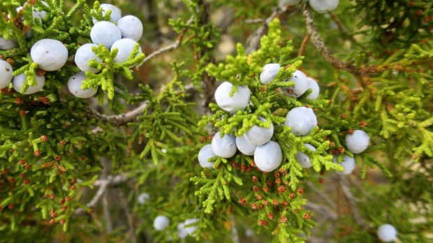 Some beautiful juniper berries, Burr Trail, Grand Staircase-Escalante National Monument, Utah