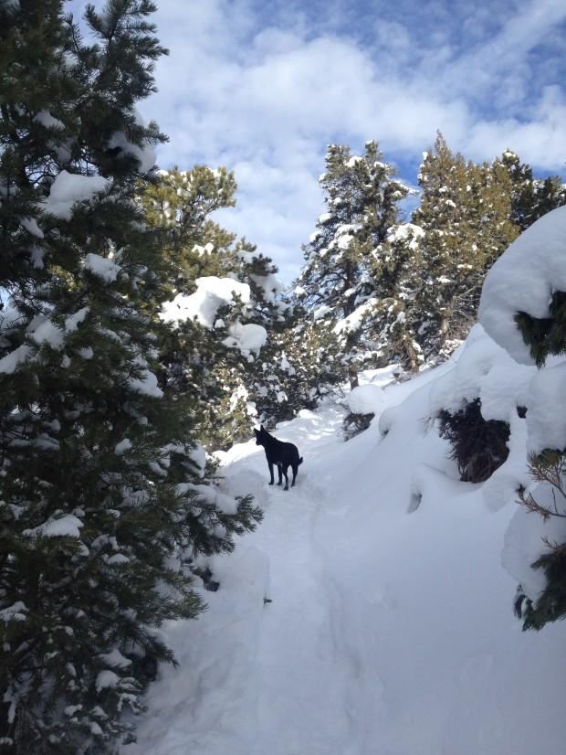 Abby enjoying a snowy afternoon dogwalk on the C Trail
