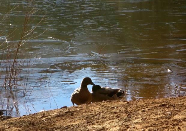 Ducks near mouth of Water Canyon, Utah