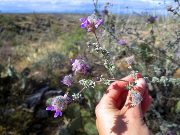 No idea what these pretty purple flowers are, Saguaro National Park, Arizona