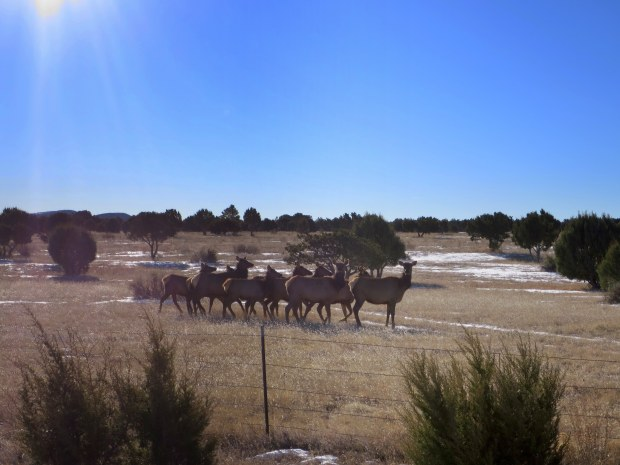 Elk!!! Goooooood morning, ladies! Lincoln National Forest, New Mexico