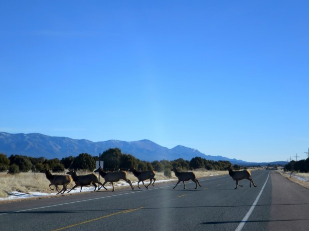 Elk running across the road, Lincoln National Forest, New Mexico